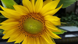Sonnenblumen gehören zum Sommer dazu!
